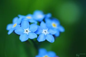 Forget me not by Shneedle