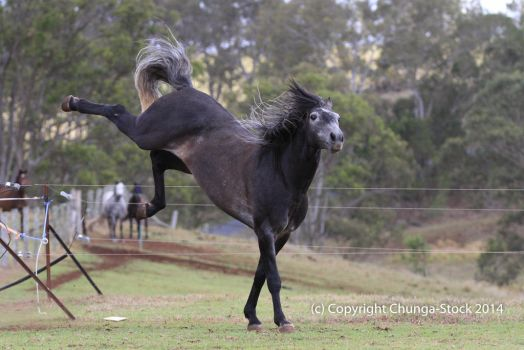 Carlos Andalusian Stally kicking out by Chunga-Stock