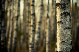 Birch wood by MiniMonkey