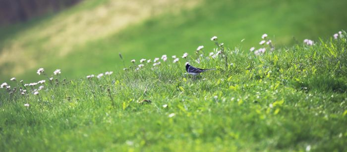 Wagtail by pyrographica