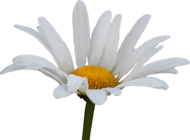 Shasta Daisy PNG by Thy-Darkest-Hour