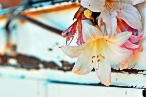 Easter Lilies by Monze1