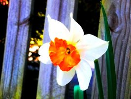 Narcissus  :D by Puccoon