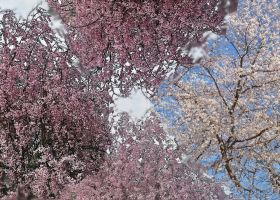 Spring Trees Blossoming by jules-101