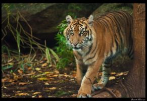 Melbourne Zoo- Tigers by daniellepowell82