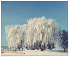 The ice willow by obviologist