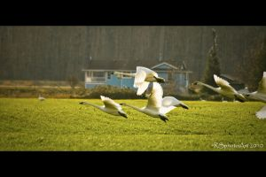 Trumpeter Take-off by RSphotoArt