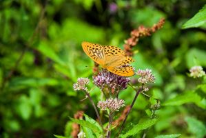 Silver-washed Fritillary by duncan-blues