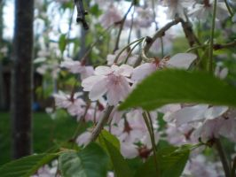 Weeping Cherry Tree by MAKENNAW12