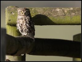 Little Owl 2 by cycoze