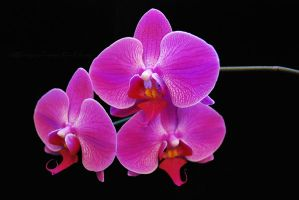 Orchids. by myxiedoo