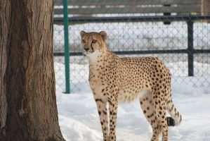 Cheetah in Snow II by tleach0608
