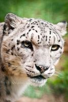 Snow Leopard III by amrodel