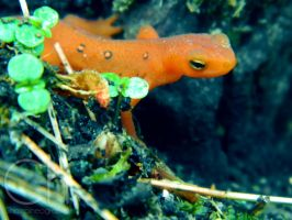 Newt 4 by Champineography
