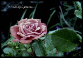 Rose. by Macaroni-Pieces