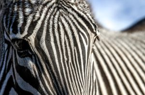 Zebra twist by nigel3