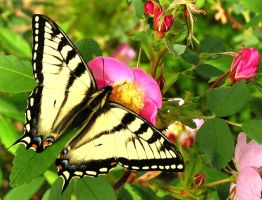 Tiger Swallowtail on Wild Rose by Line-of-Birds