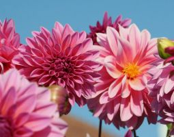 pink perfect dahlias by ingeline-art