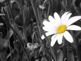 Daisy by musicity