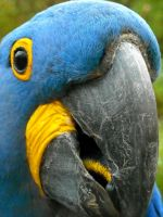 Hyacinth Macaw by soyrwoo