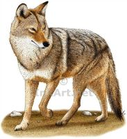 Coyote by rogerdhall
