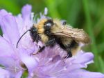 Bumblebee by starykocur