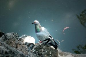 Dove by cessar