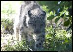 Baby Snow Leopard II by TVD-Photography