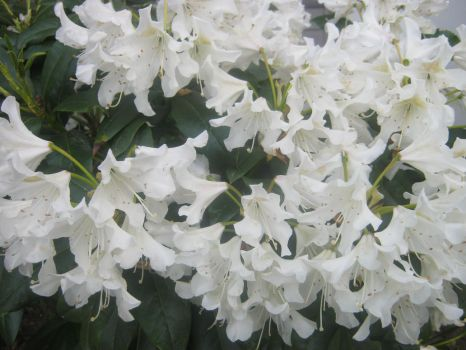 White flowers 1 by Birdsong231