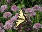 ANOTHER butterfly and chives by chinichisama