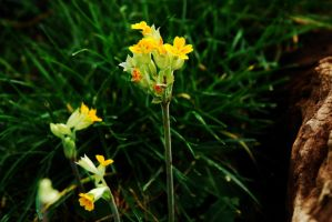 Cowslips in December!!! by EarthHart