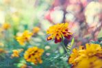Tagetes by xBarbaraG