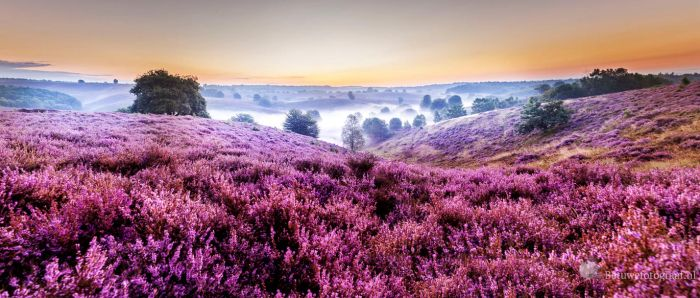 Sunrise over the blooming heitherfields in Holland by Betuwefotograaf