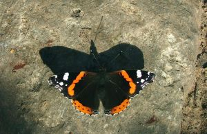Stock Butterfly On A Rock Early November 2007 by aegiandyad