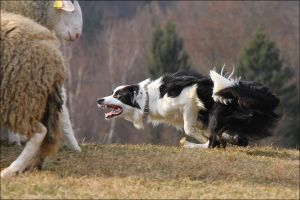 Wanna see how real border collie looks like? by jollyvicky