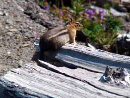 Chipmunk Stock by Stoked-Stock
