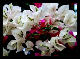 The Pink and White 1 by uk-antalya