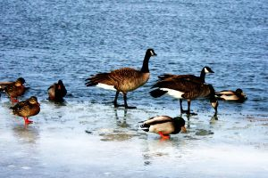 Geese and Ducks by MacKen77