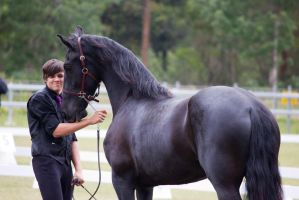 STOCK - Friesian Show 2012-67 by fillyrox