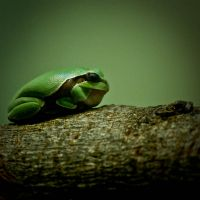Tree Frog by Frenchtown