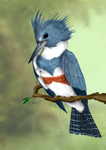 Belted kingfisher (Megaceryle alcyon ) by Arery