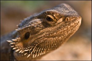 Female Bearded Dragon by jayvoh