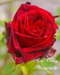 Red Rose by alicecorley