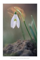 Snowdrop with a glory by DimensionSeven