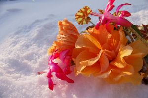 Flowers in the Snow closer by sztewe