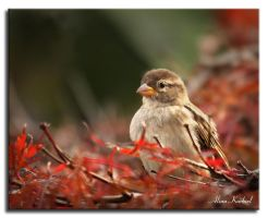 Sparrow in Red by AlinaKurbiel
