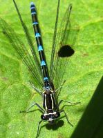 DAMSELFLY 7 by iriscup