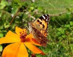 Painted Lady Butterfly by Track-Maidens
