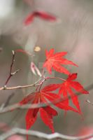 Maple Leaf by Angela-W