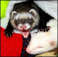 Life of a Ferret by Allhailtotheferrets